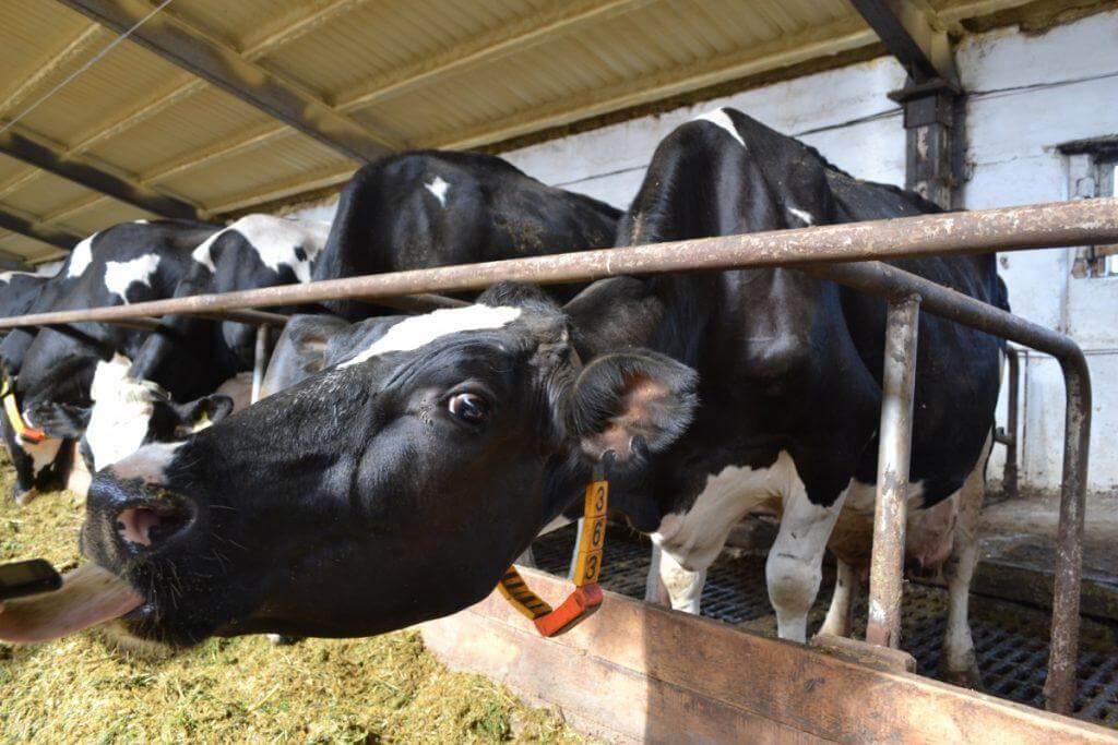 Доение одной коровы